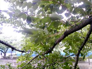 稲城の桜6月21日−1.jpg