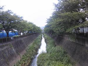 稲城の桜6月21日−2.jpg