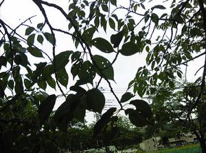 稲城の桜6月21日−3.jpg